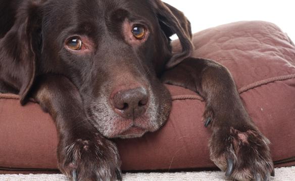 Старый пес с грустным взглядом