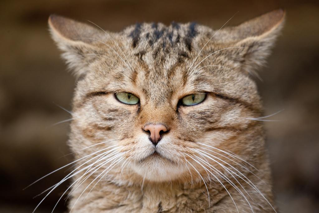 морда серьезной кошки