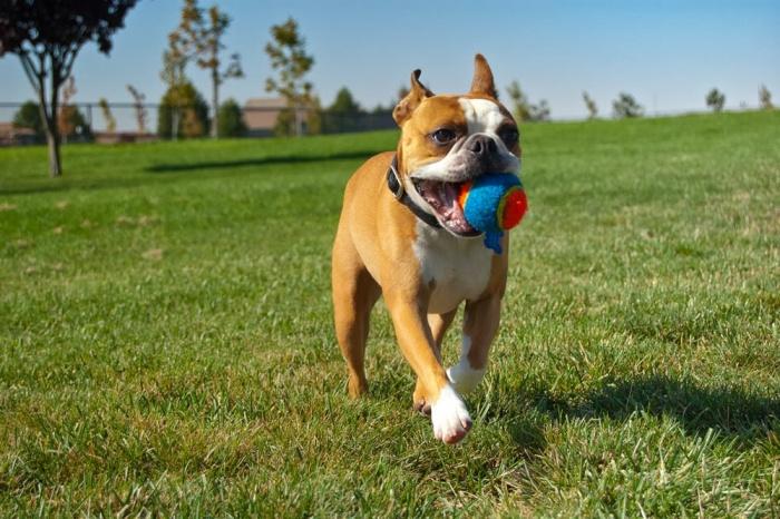 пес на прогулке с мячиком в зубах