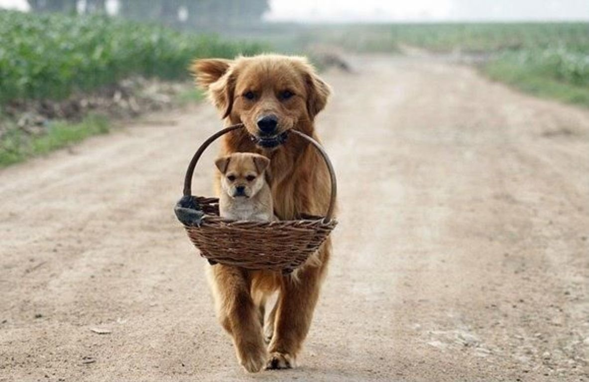 Подготовка собак к размножению
