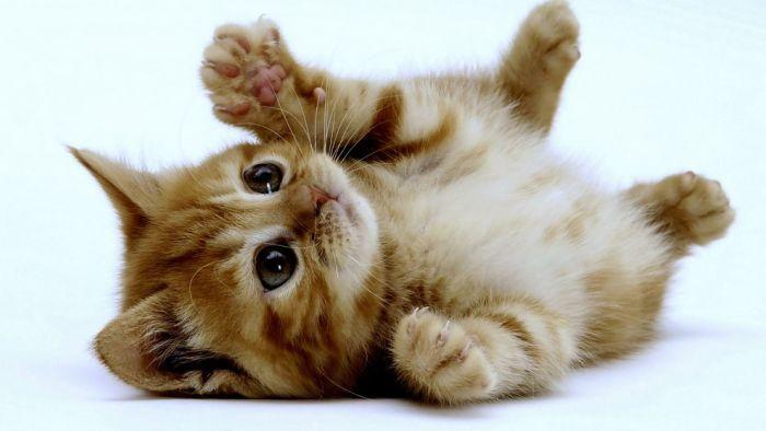 рыжий котенок  лежит на спине лапами вверх