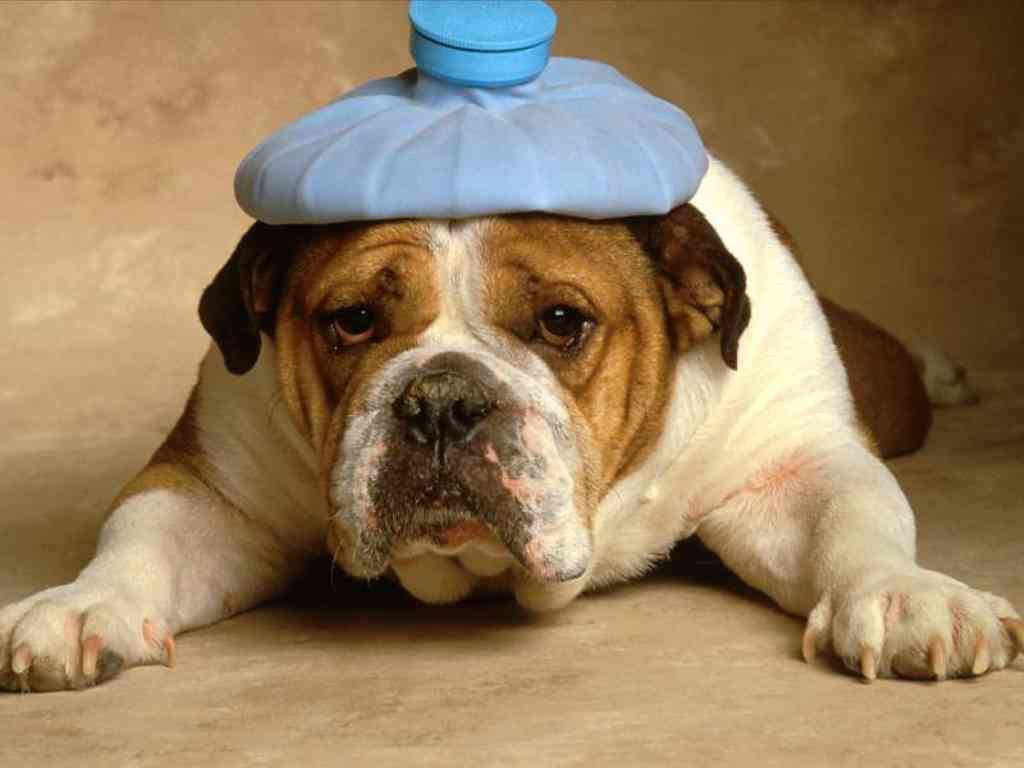 пес с грелкой на голове
