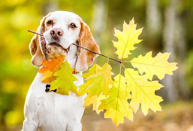 собака с осенними листьями