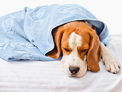 собака укутанная в полотенце
