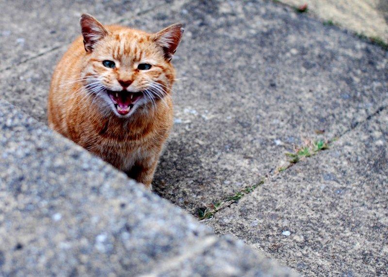 рыжий уличный кот кричит