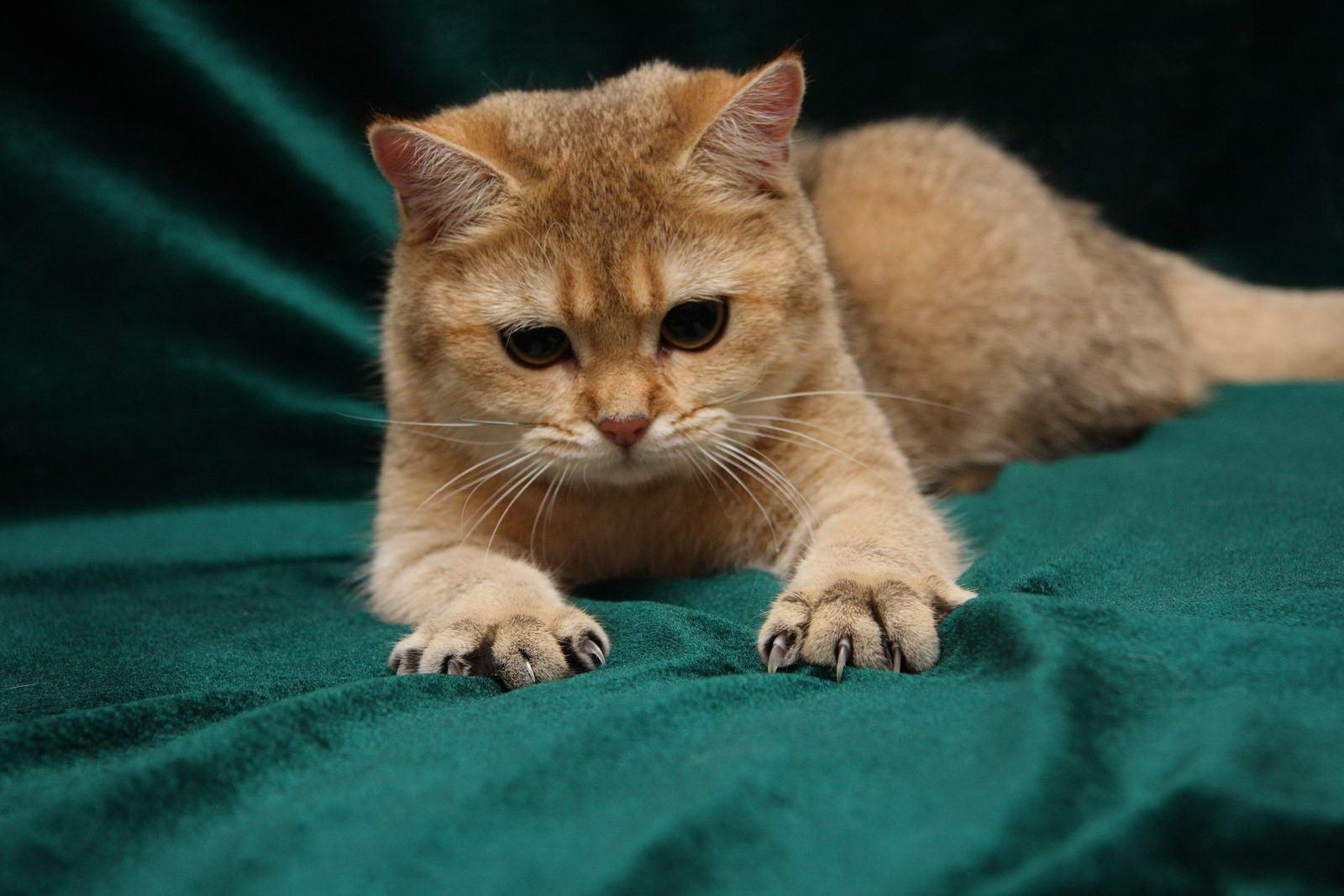 рыжий кот когти