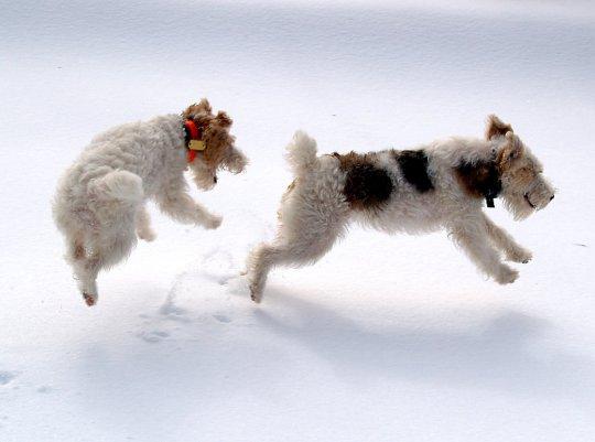2 собаки играют в снегу