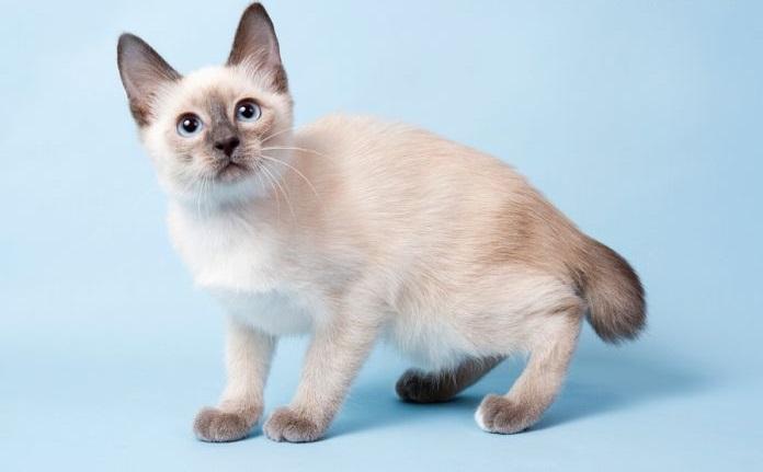 кошка той-боб