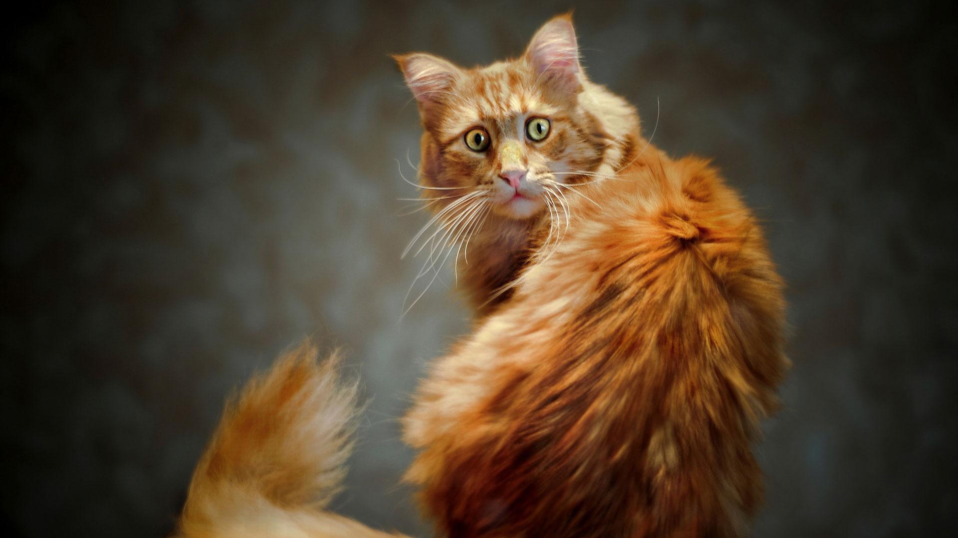 рыжий перепуганный кот