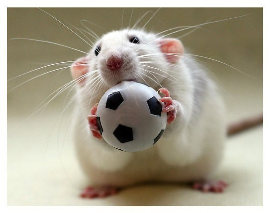 Хомячки, мыши, морские свинки – вы решили завести грызуна?