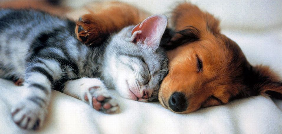 собака обнимает кошку
