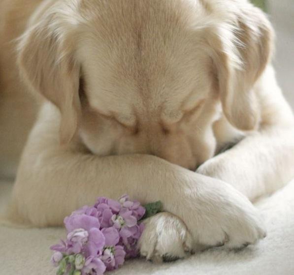 собака накрыла мордочку лапками