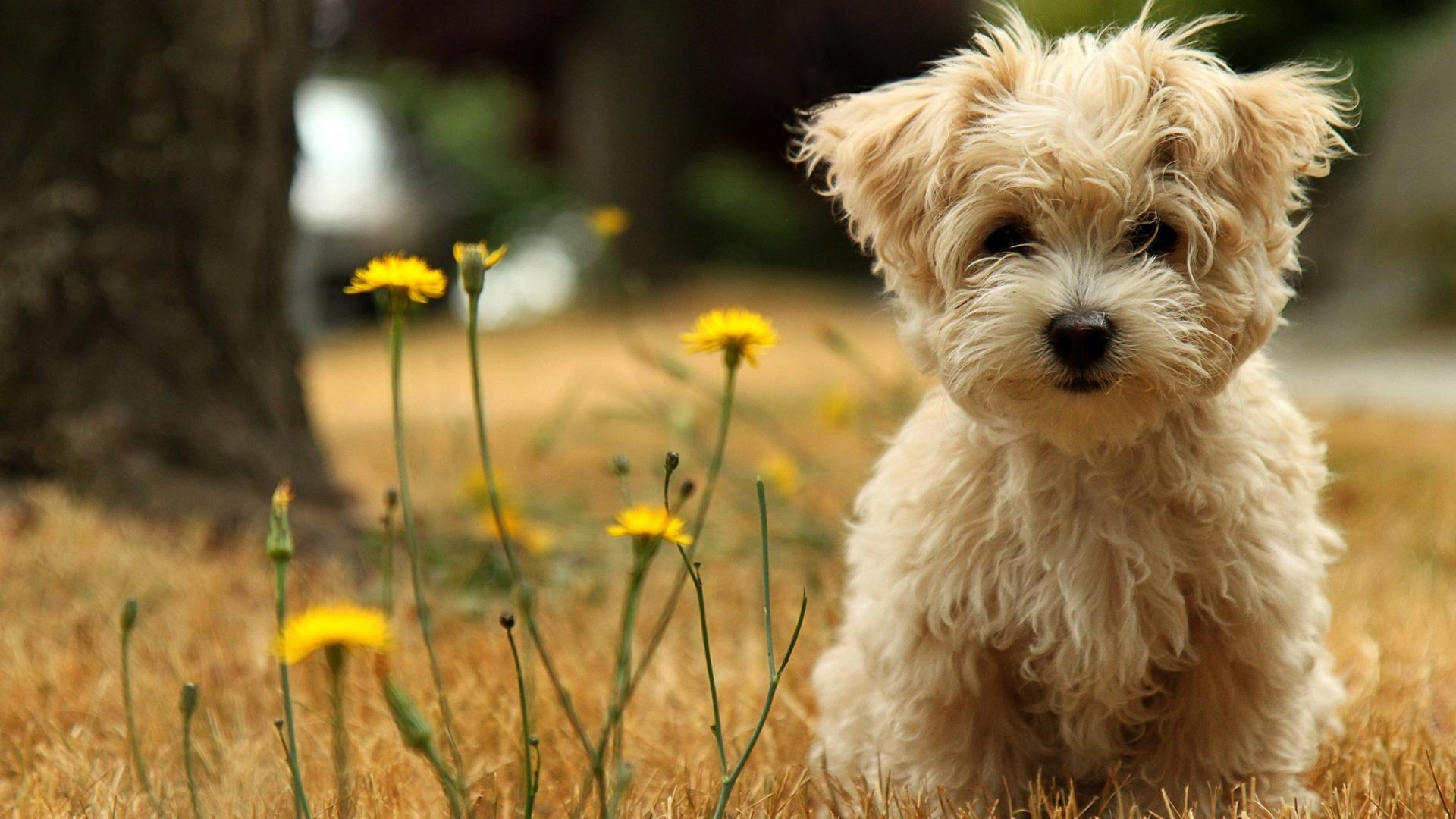 белая мохнатая собака в поле среди цветов
