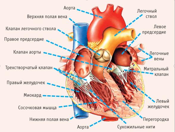 єхокардия
