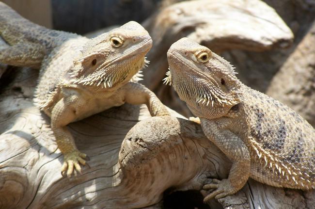 bearded-dragon_big