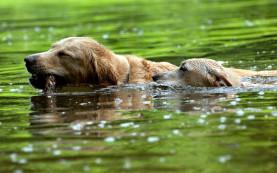 127841-wood-dogs-swim-river-277x173