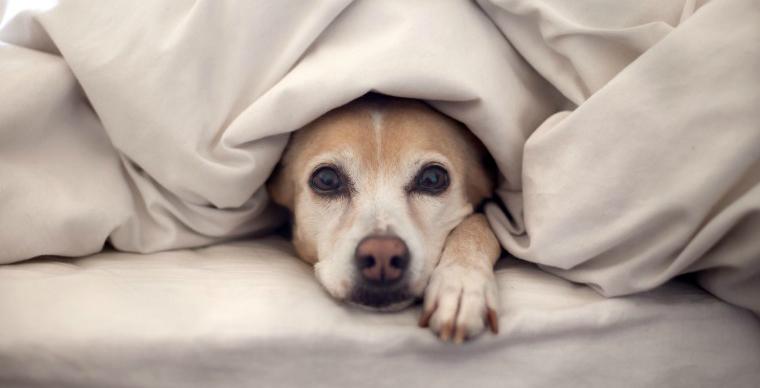 Собака-под-одеялом
