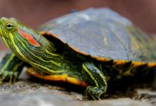 Отиты у красноухих черепах