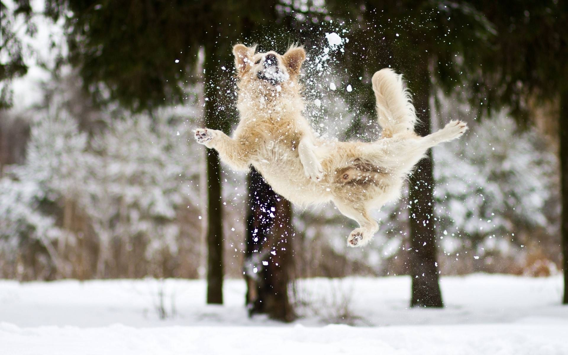 460988-dogs-jumping-in-the-snow