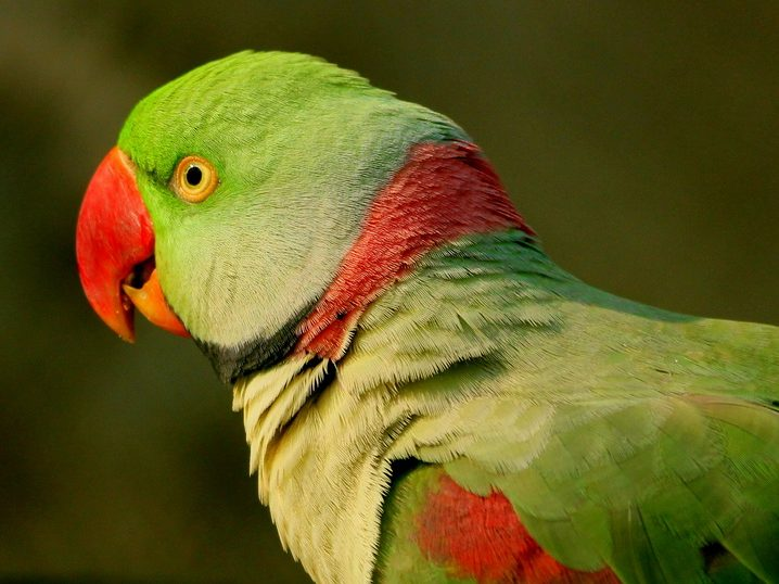 Случай в клинике: александрийский попугай выжил на морозе -18°