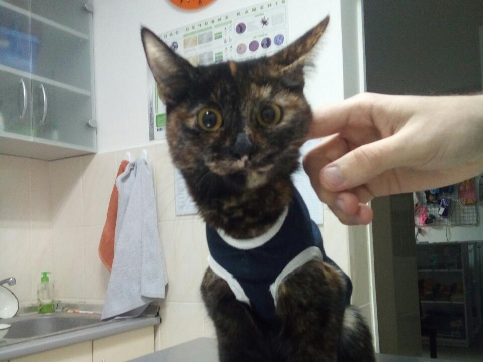 Случай в клинике: кошку спасали на операционном столе из-за проглоченных крышечек