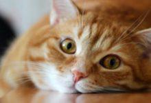 Кастрация котов. Консультация ветеринара