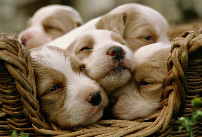 Вагітність та пологи у собак. Як підготуватися та чим допомогти?
