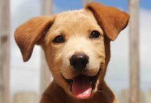 Ветеринарна практика: ЮСГДЛ у собак.  Специфіка хвороби та методи лікування