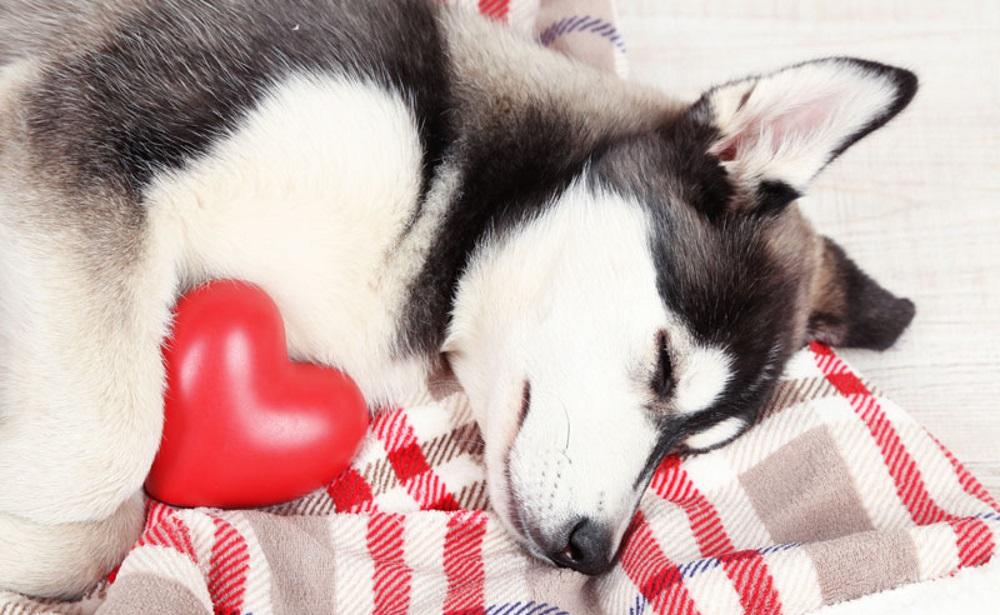 Собаче серце. Особливості захворювань серця собак