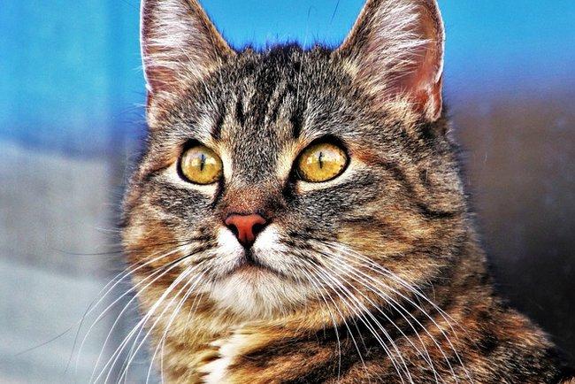Герпесвірусна інфекція кішок
