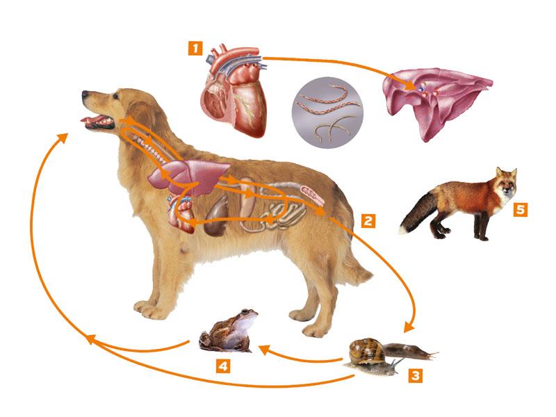 Серцево-легеневі гельмінтози собак (дирофіляріоз та ангіостронгілоідоз)
