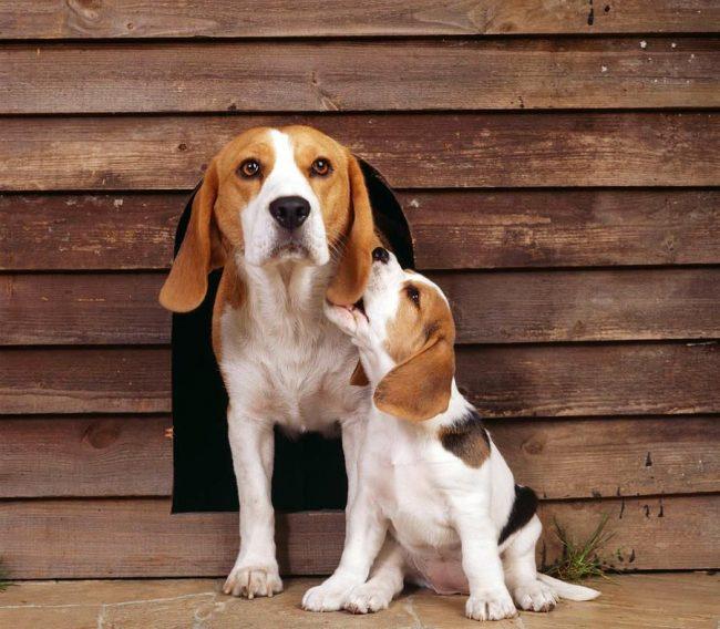 Вагітність у собак