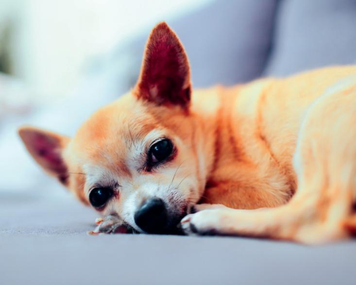 Стрес у собак