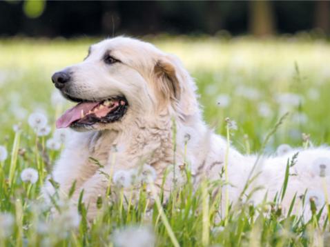 Лептоспіроз собак: методи лікування