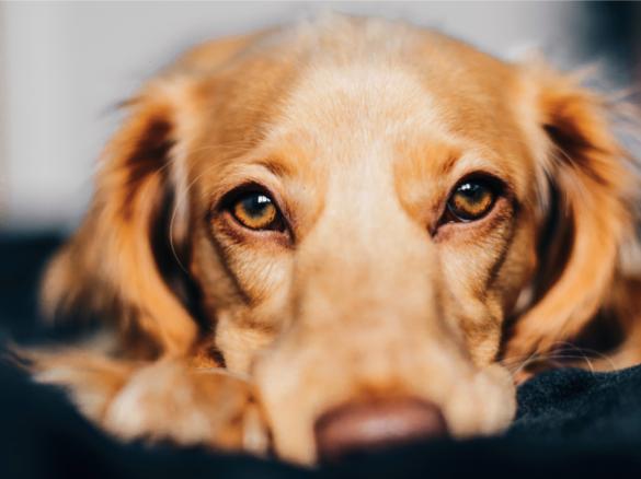 Отруєння чадним газом у собак